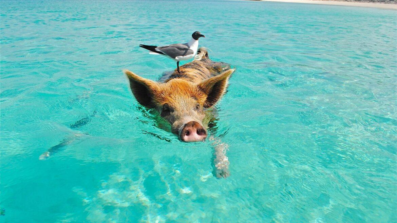W morzy pływa świnia z kaczką na grzbiecie.